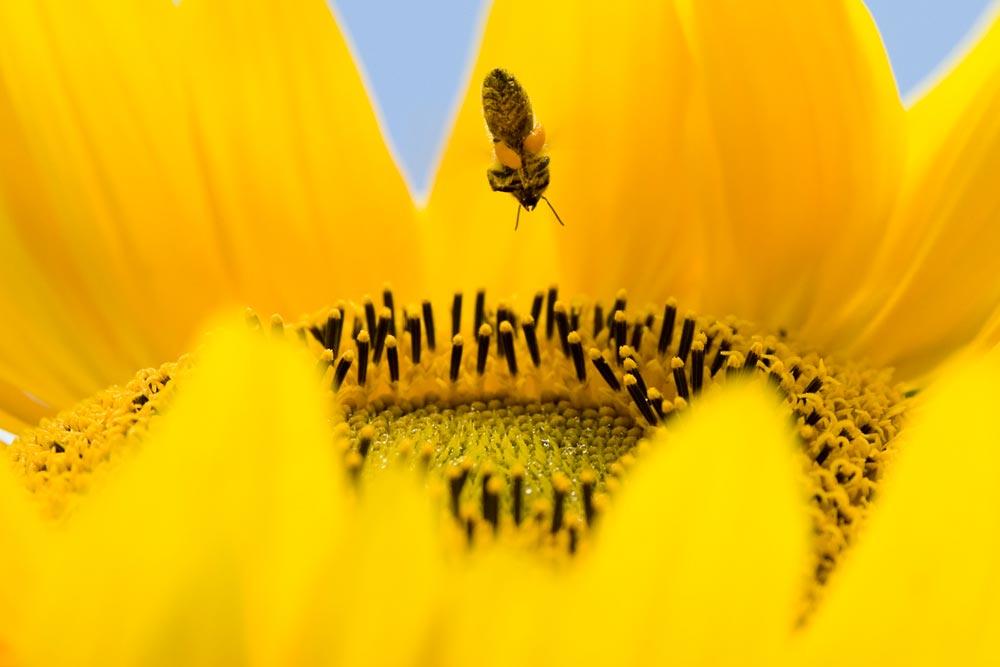 Biene sammelt an Sonnenblume
